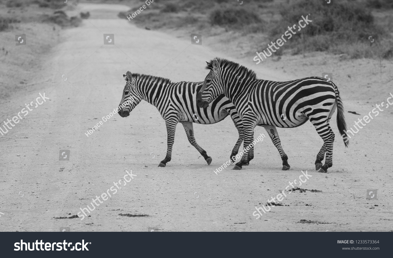 Zebra Kenya Safari #1233573364