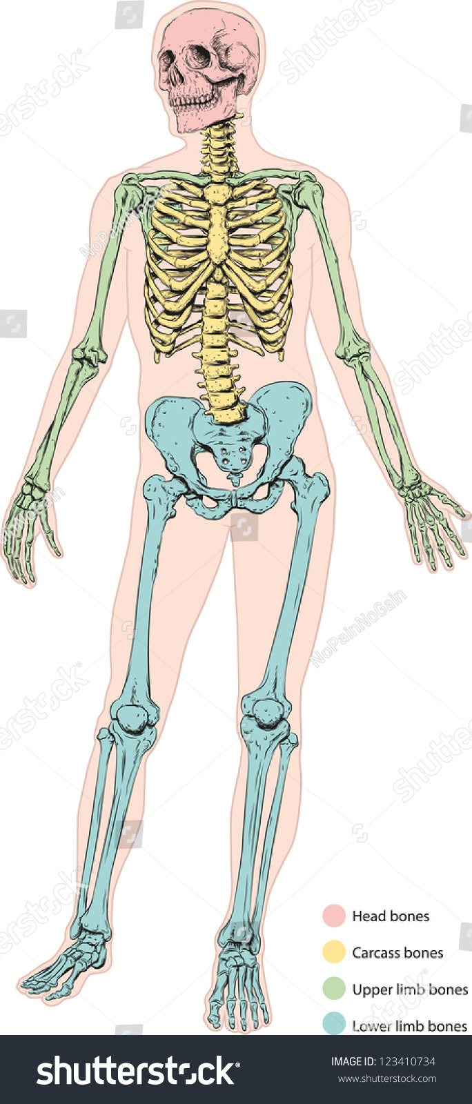 Human Skeletal System Stock Photo Photo Vector Illustration