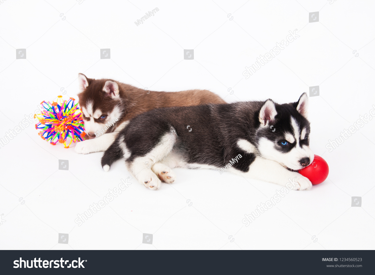 Two Siberian Husky Puppy Playing Balls Stock Photo Edit Now