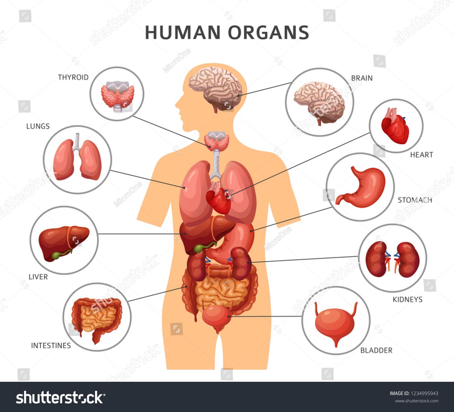 Human Body Internal Organs Stomach Lungs Stock Vektorgrafik