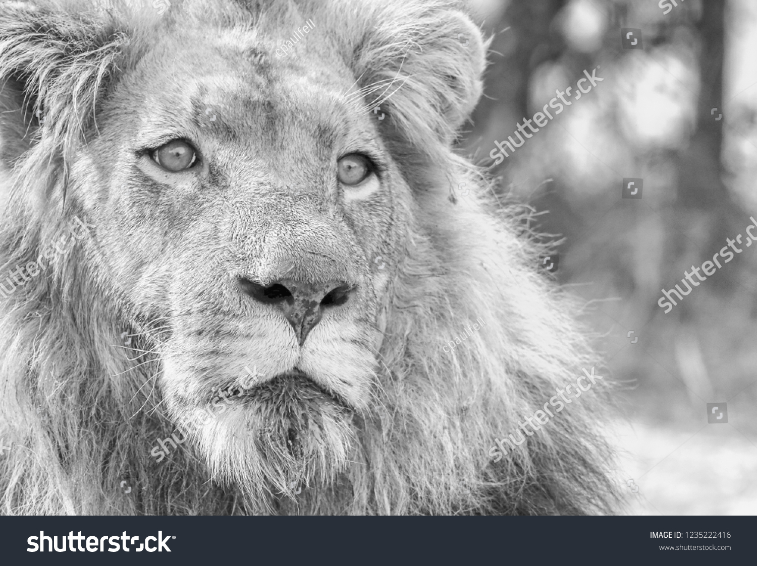 stock-photo-a-large-male-african-lion-in