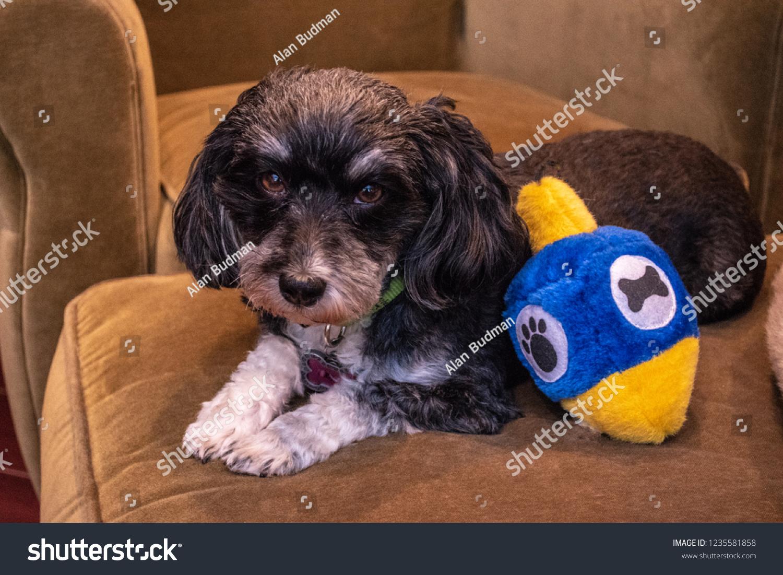 Jewish Havanese Black White Havanese Puppy Stock Photo Edit Now 1235581858