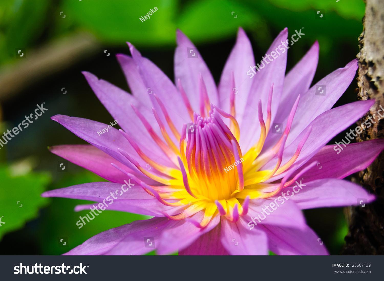 Lotus Flower Purple Light Ez Canvas