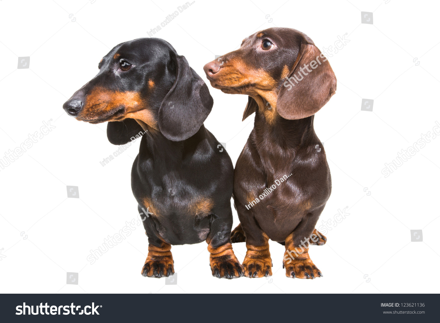Black Chocolate Dachshund Dogs On Isolated Stock Photo 123621136 ...
