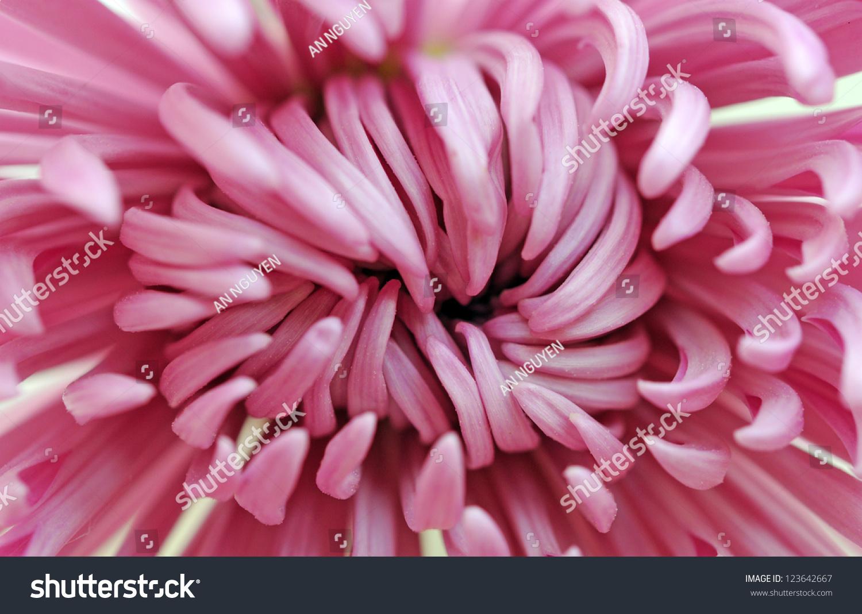 Closeup pink daisy flower background uses stock photo edit now closeup of pink daisy flower for background uses izmirmasajfo