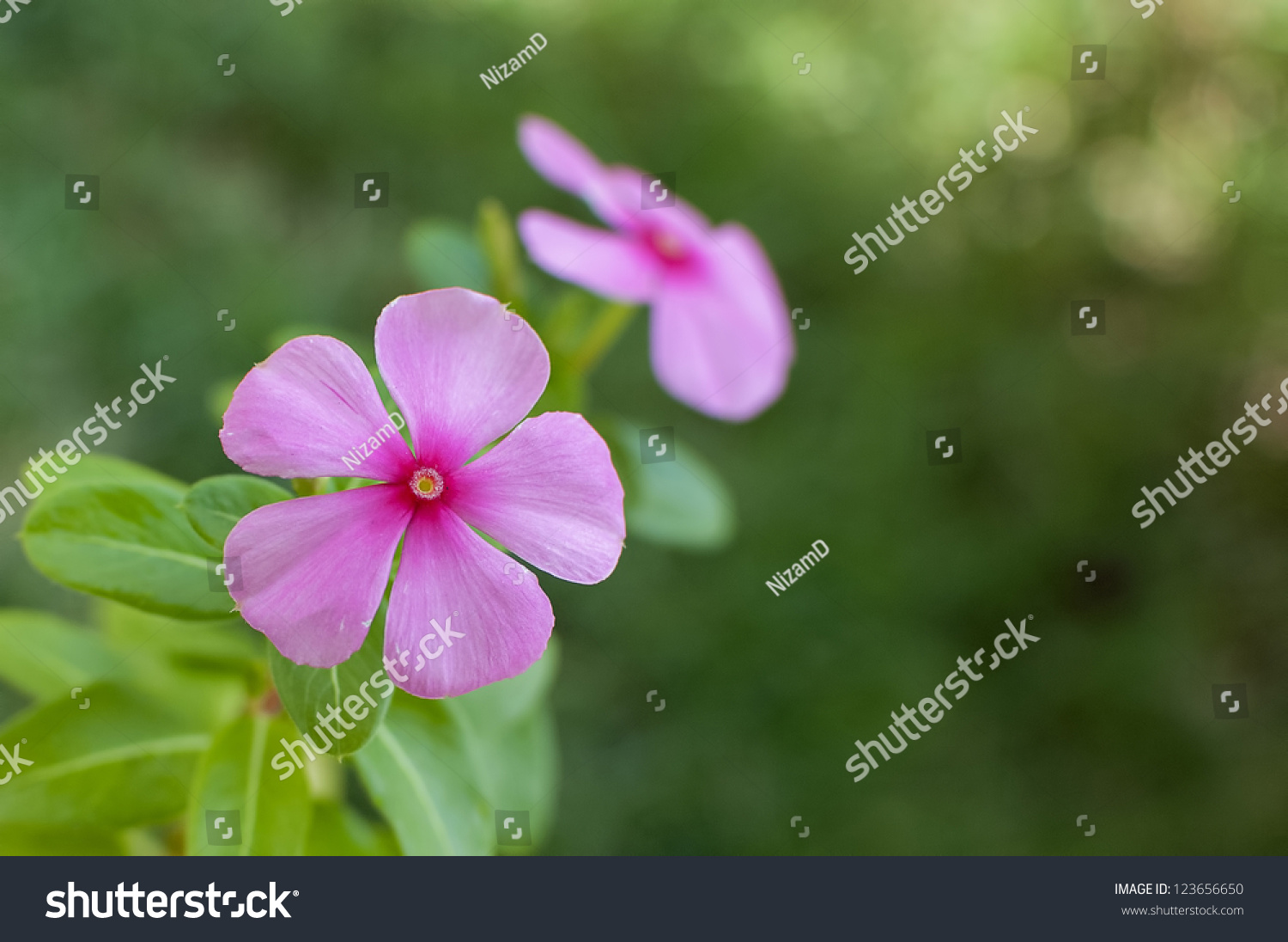 Pink Periwinkle Flower Known Botanical Name Stock Photo Edit Now