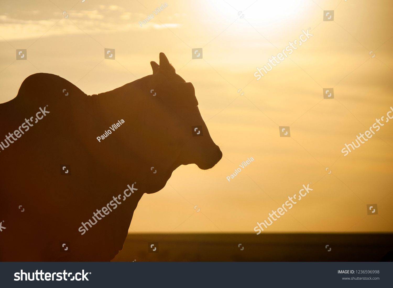 Nelore silhouette in sunset day. Bovine originating in India and race representing 85% of the Brazilian cattle for meat production. #1236596998
