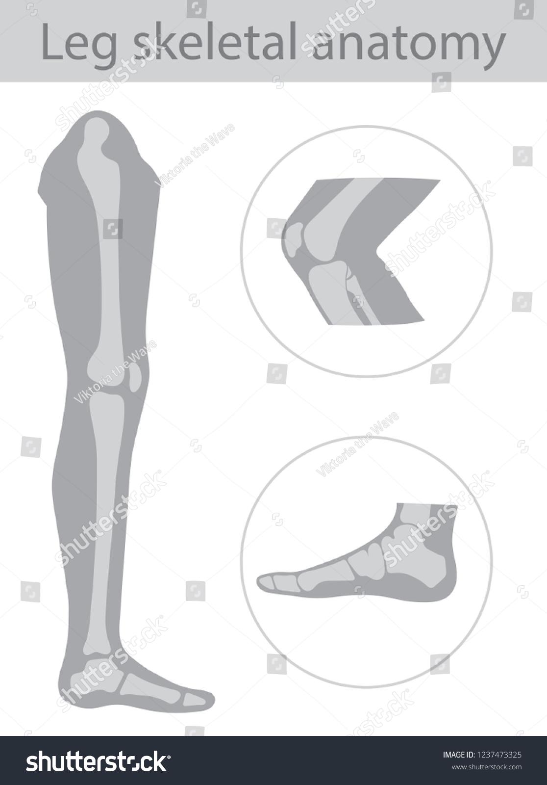 Vector Illustration Human Leg Bone Structure Stock Vector Royalty