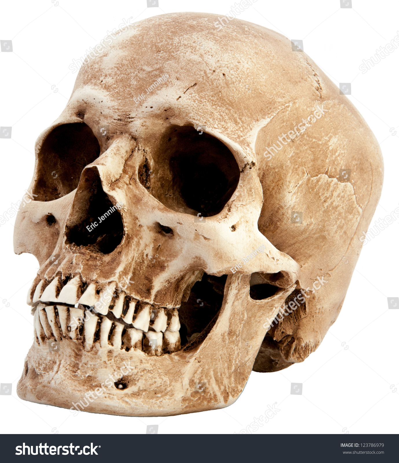 Side View Human Skull Stock Photo 123786979 - Shutterstock
