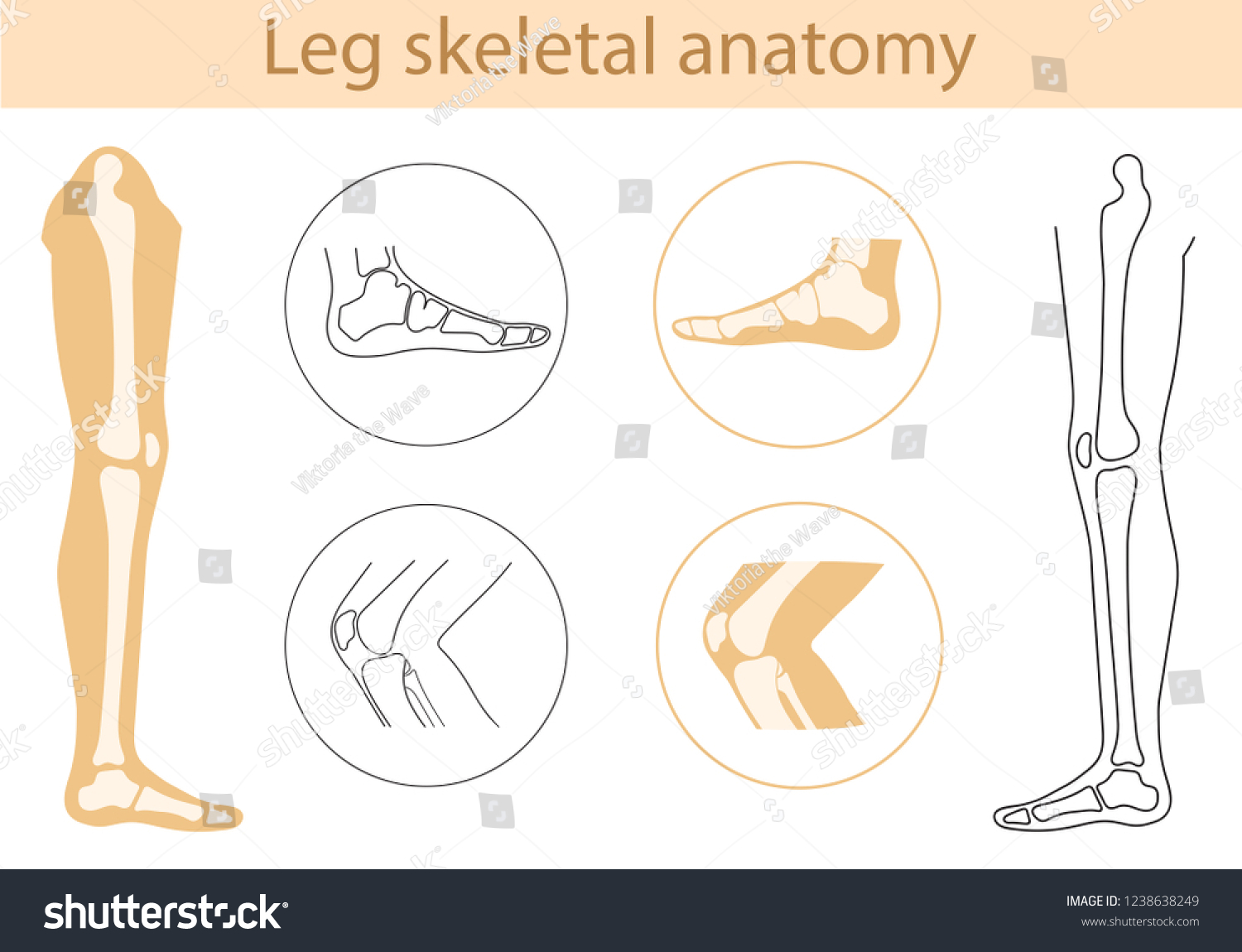 Vector Illustration Human Leg Bone Structure Stock Vector Royalty