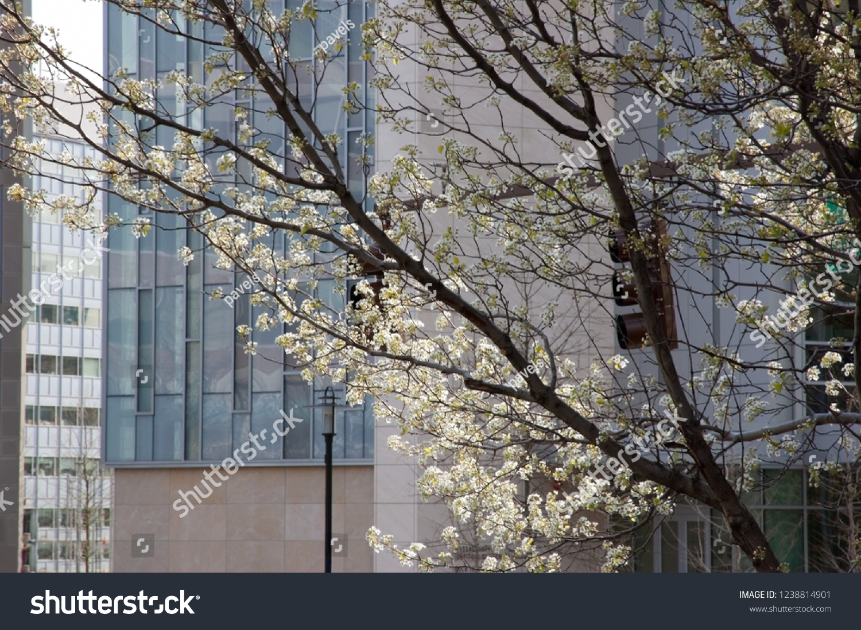 Blooming Magnolia Tree Boston Massachusetts Stock Photo Edit Now