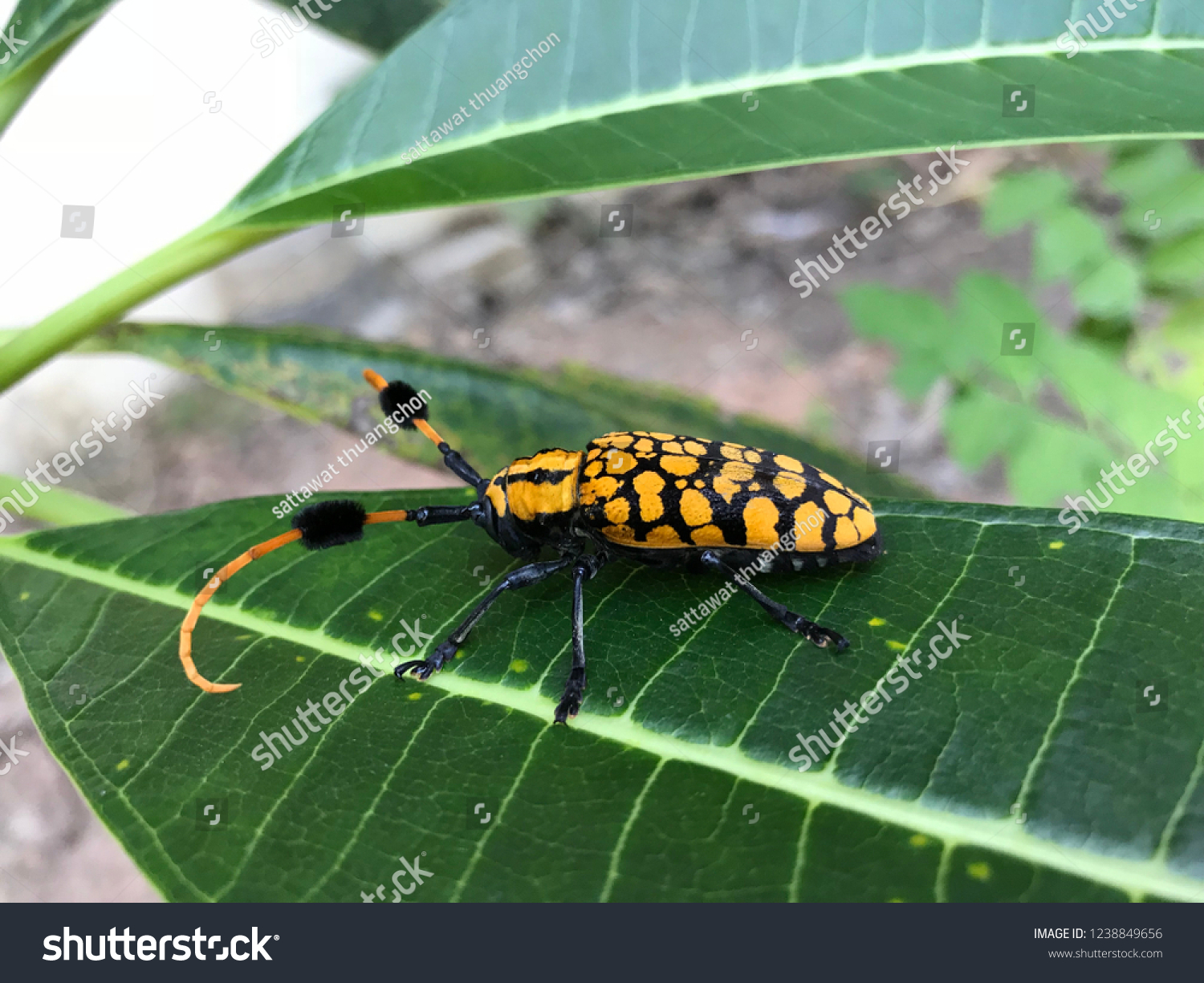 Common Turfbearing Longhorn On Green Leaf Stock Photo (Edit