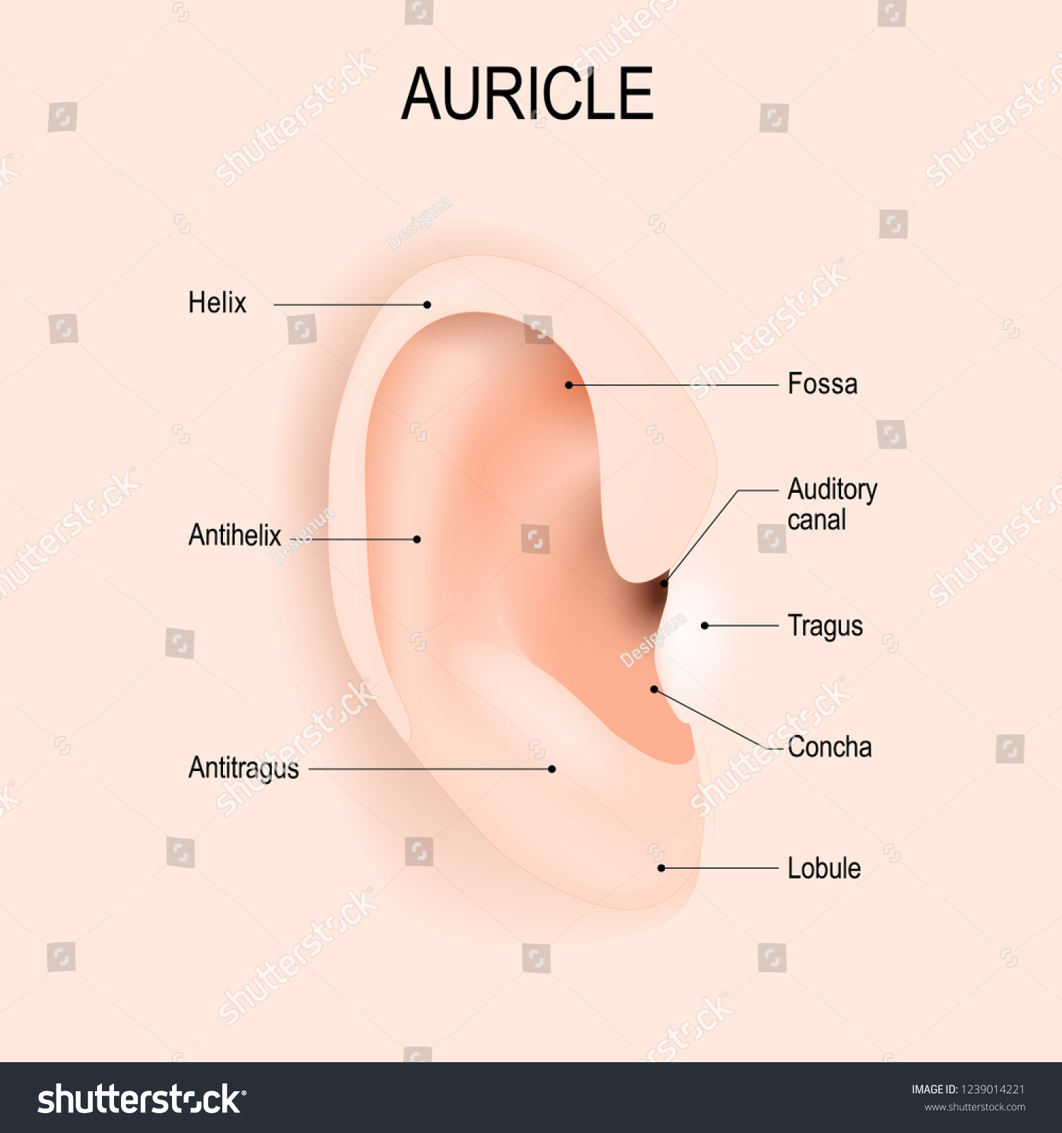 auricle anatomy human ear piercing vector stock vector (royalty free