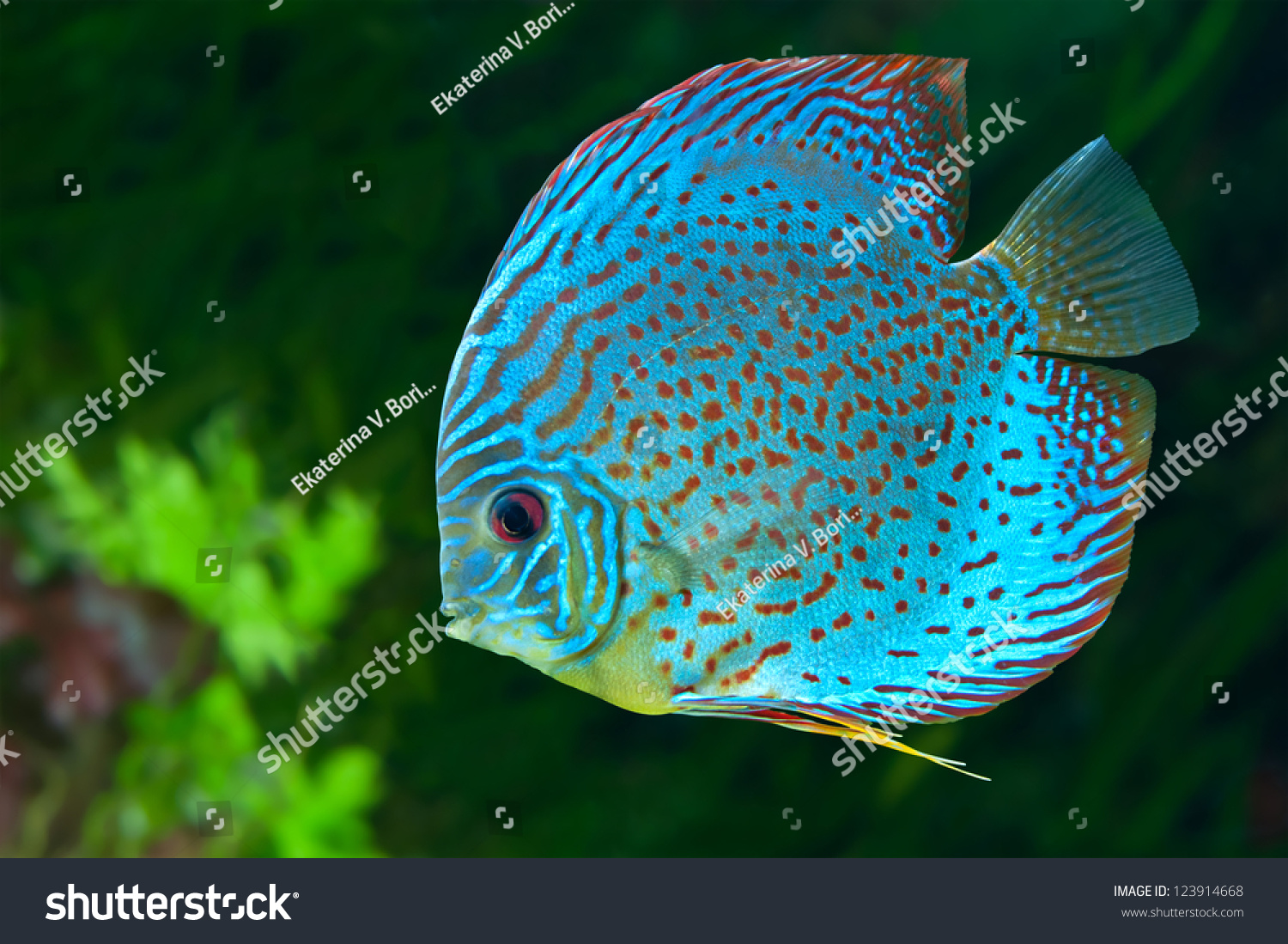 Discus symphysodon spp freshwater fish native to the for Fish in the amazon