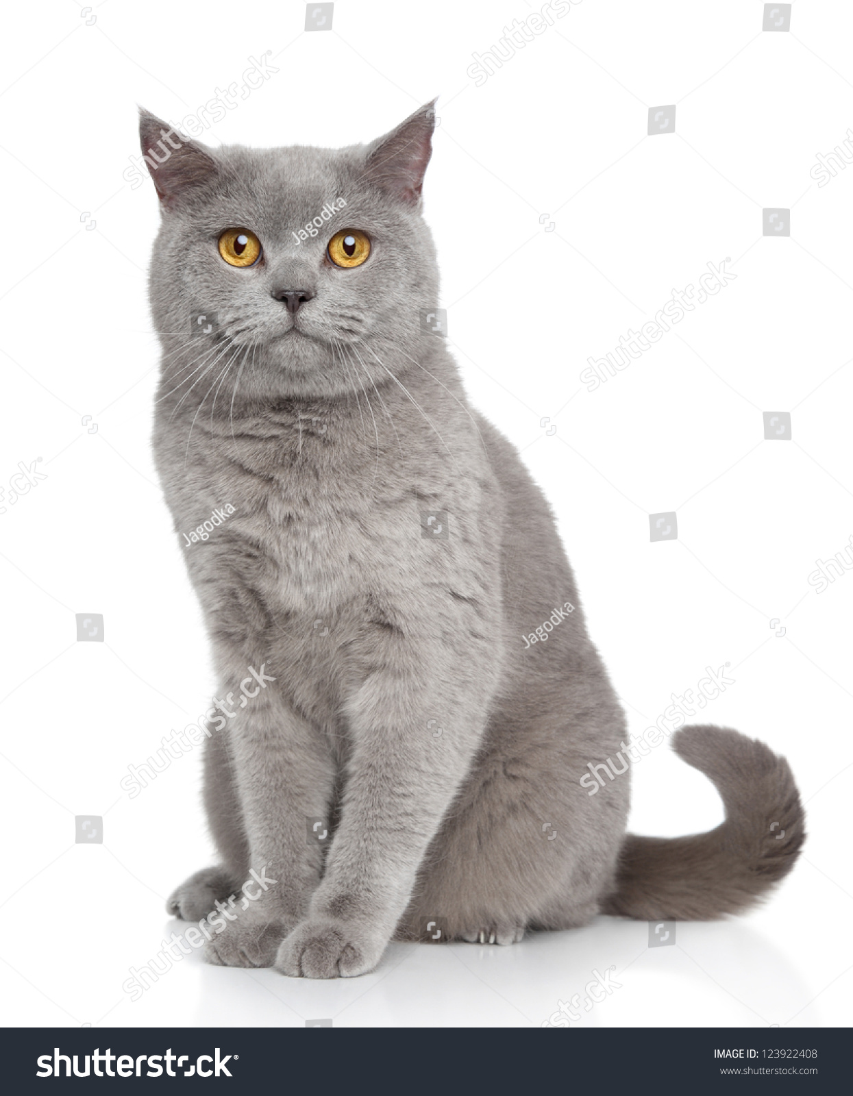 Royalty free British Shorthair cat portrait on a… Stock