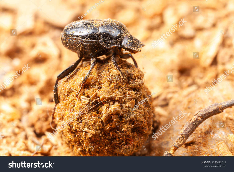 very small scarab beetle scarabaeidae coprophage stock photo edit