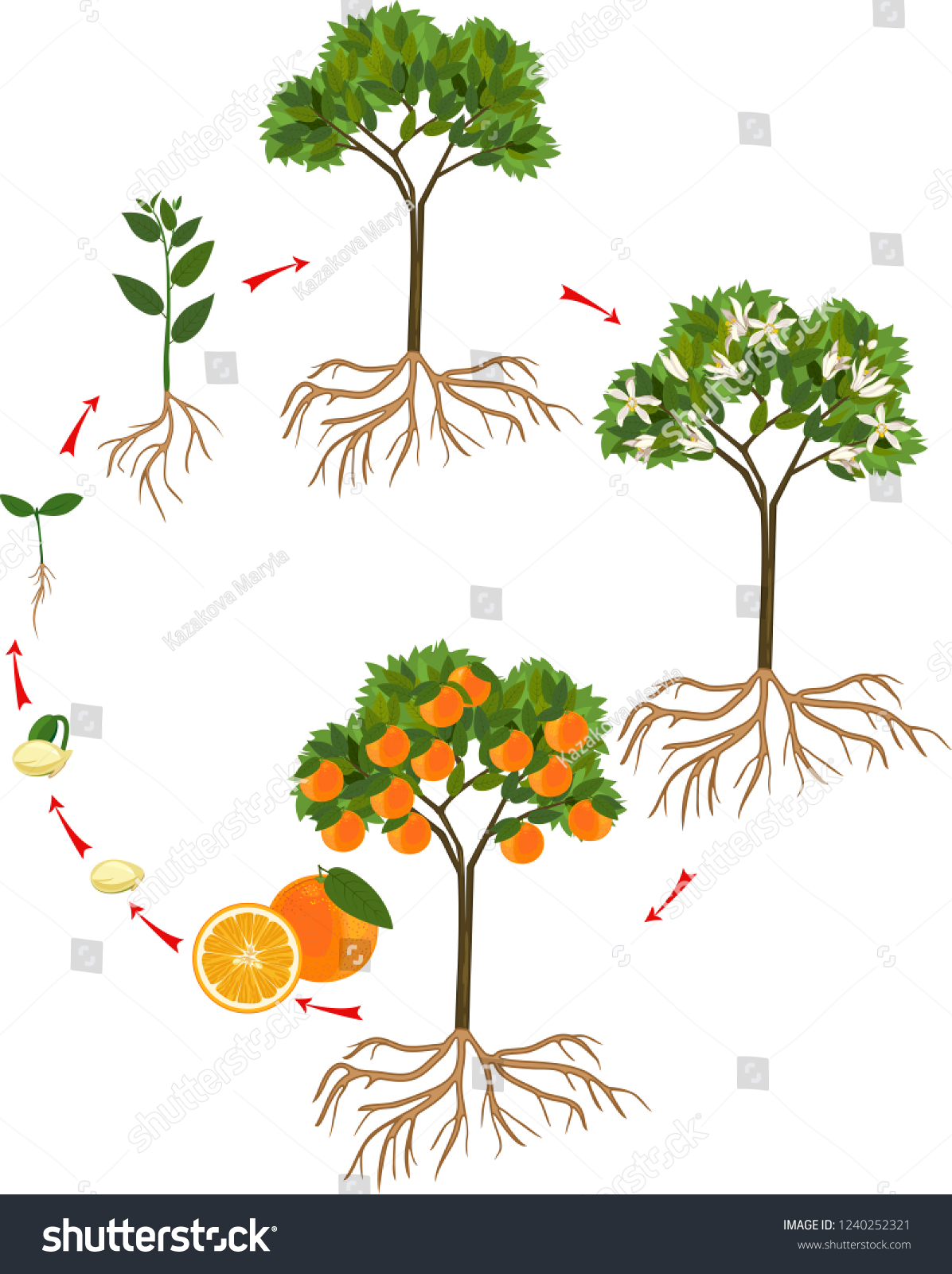 Life Cycle Orange Tree Stages Growth Stock Vector (Royalty Free) 1240252321Shutterstock