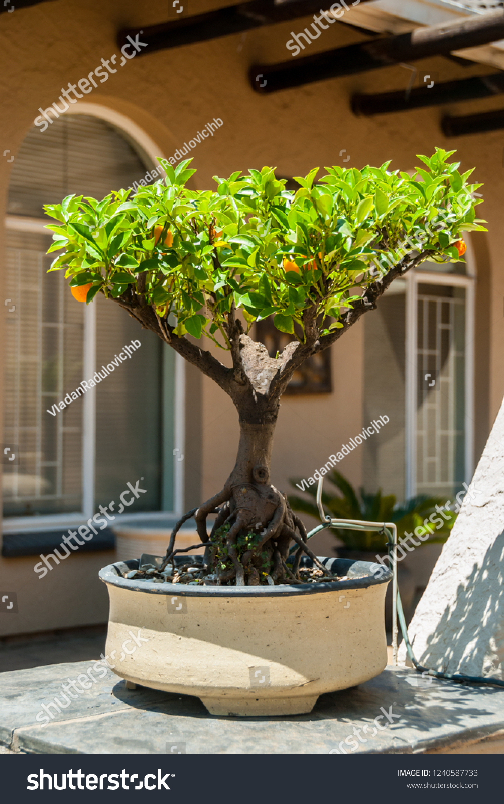 Orangelemon Bonsai Tree Stock Photo Edit Now 1240587733