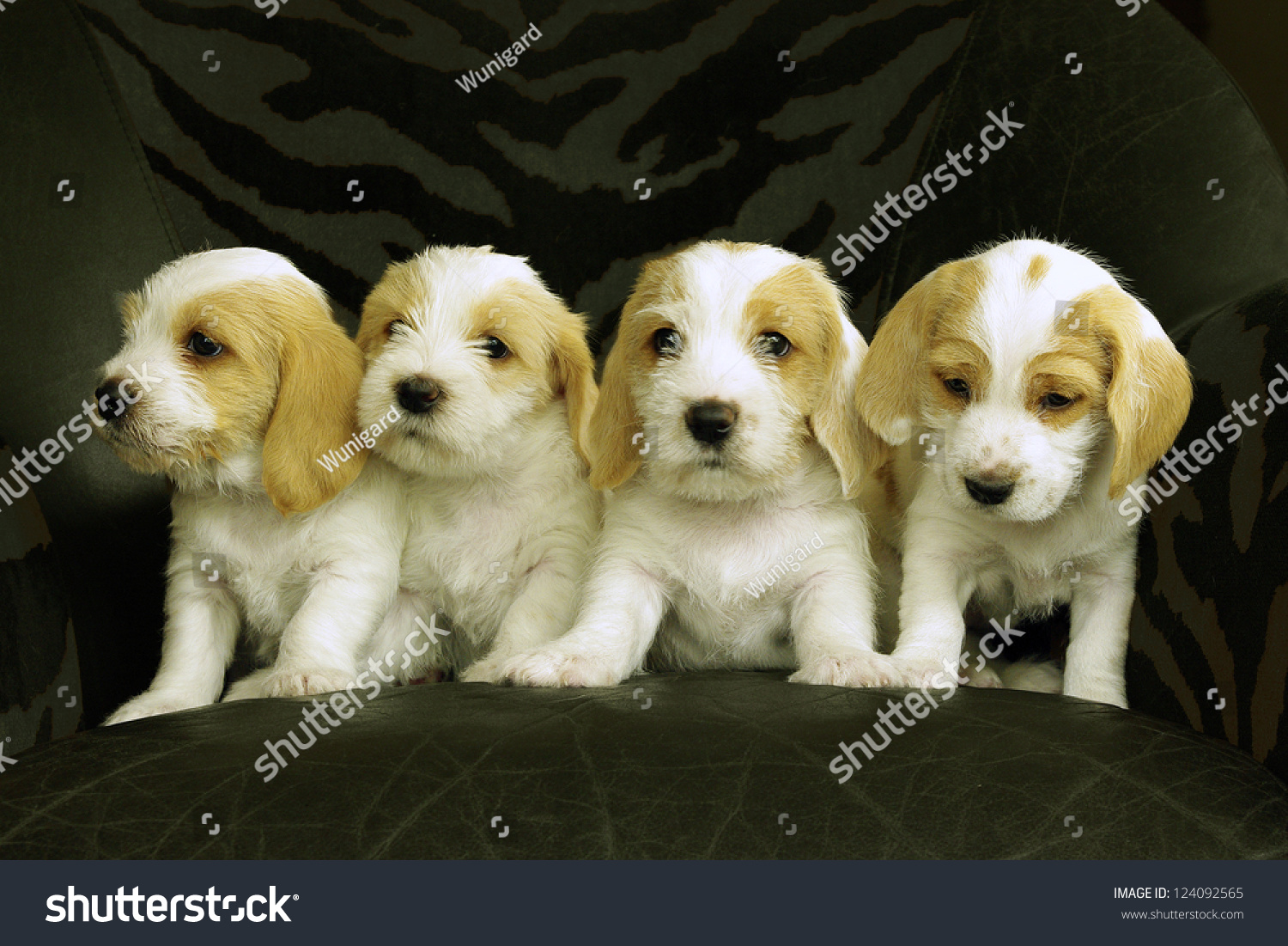 Four puppies breed petit basset griffon stock photo - Petit basset griffon vendeen breeders toulon ...