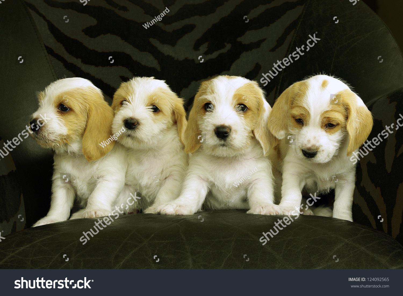 Four puppies breed petit basset griffon stock photo - Petit basset griffon vendeen breeders toulon ...