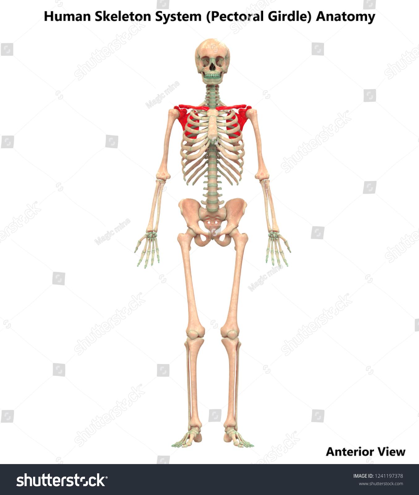 Human Skeleton System Pectoral Girdle Anatomy Stock Illustration