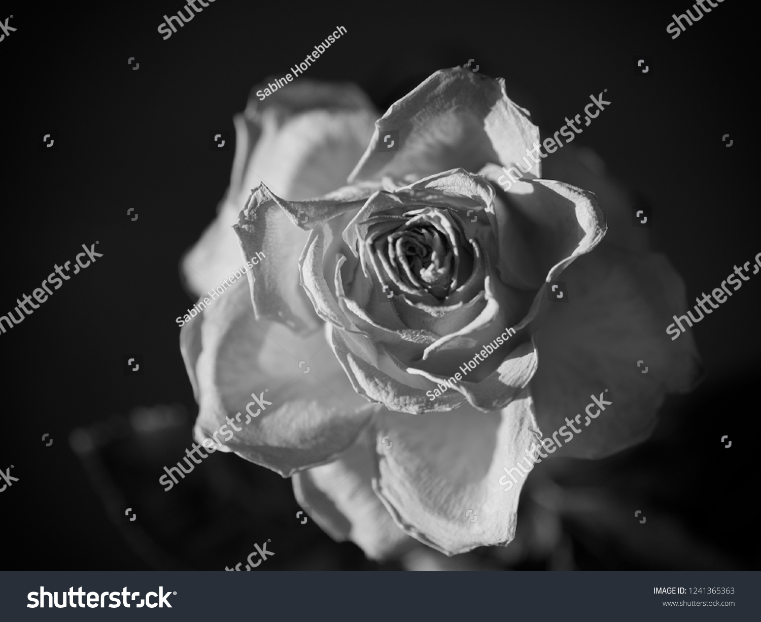 Single black and white faded rose blossom on dark background with spot light selective