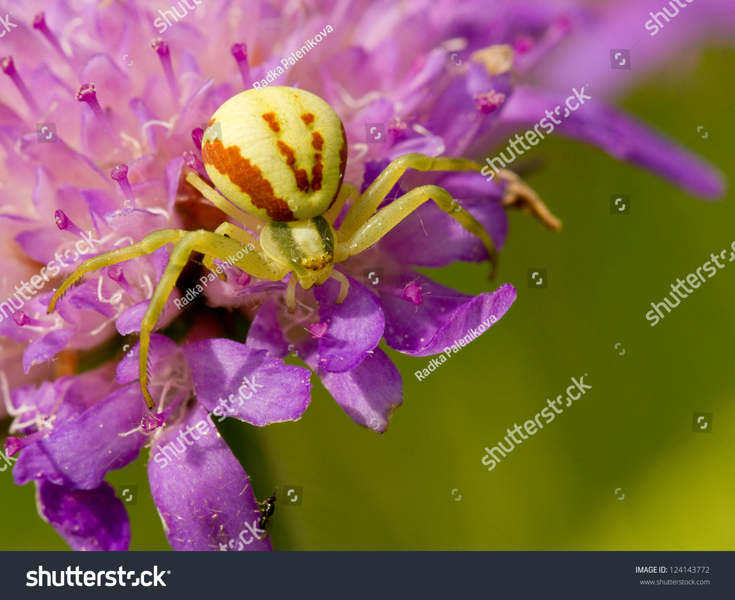 Crab spider preying bumble bee garden spiders spiders flower spiders - Goldenrod Crab Spider Sitting On A Flower Misumena Vatia