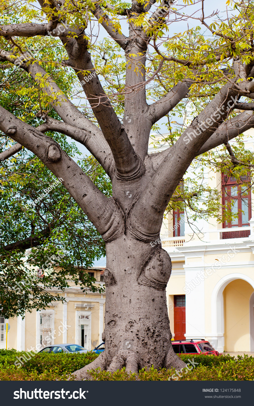 Baobab cuba