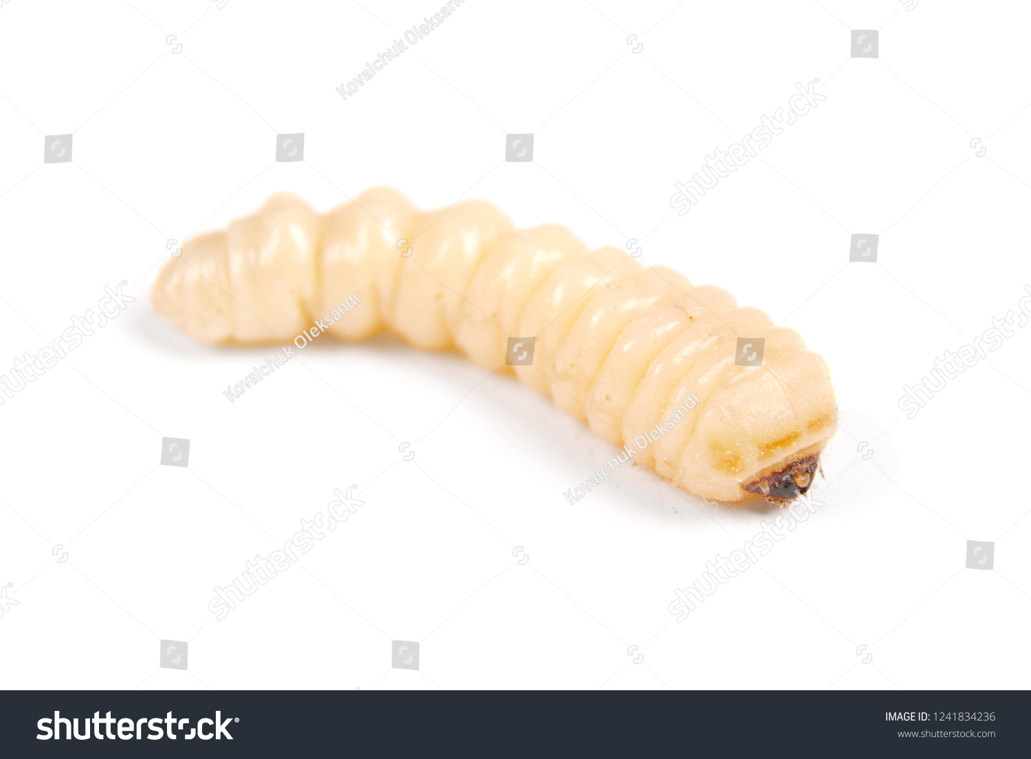 Larva bark beetle (Scolytinae). Larva of Bark beetles legless isolated on white background. #1241834236
