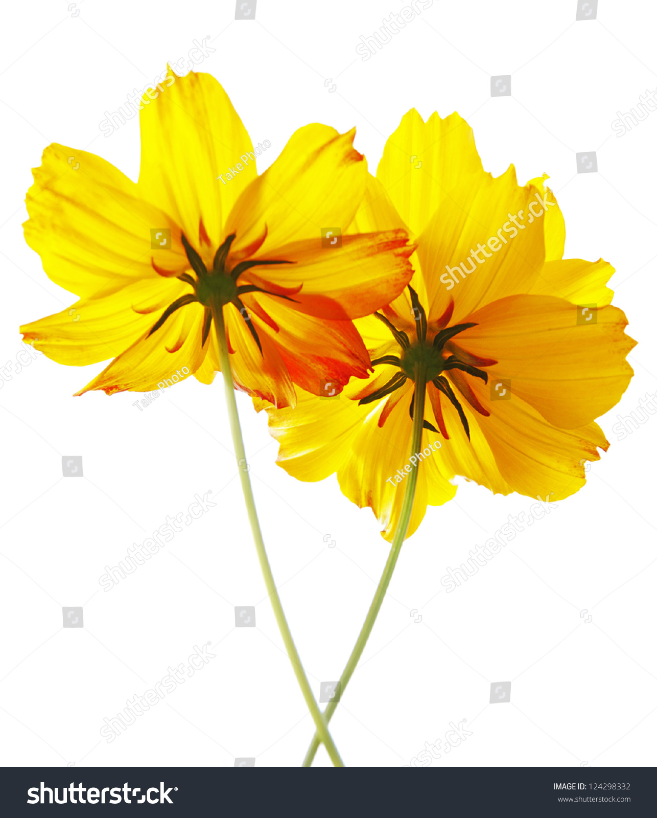 Twin Yellow Cosmos Flowers Isolated On White Background Mean Is