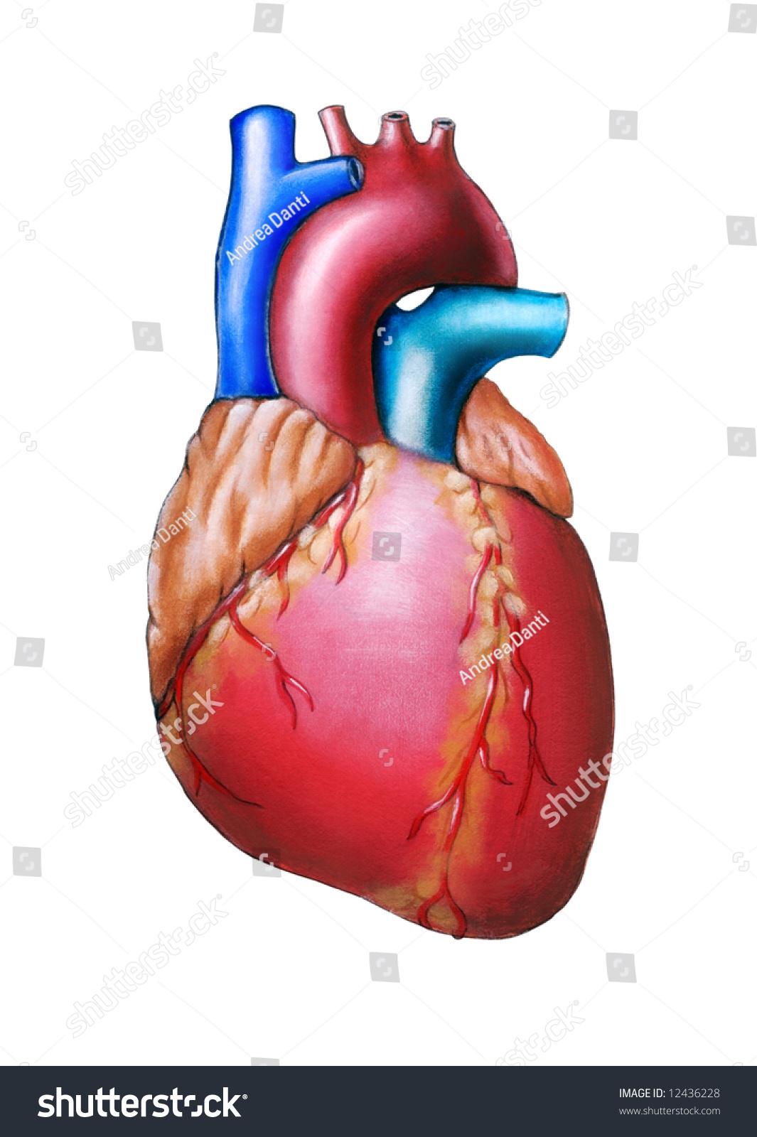 Human Heart Anatomy Original Hand Painted Stock Illustration