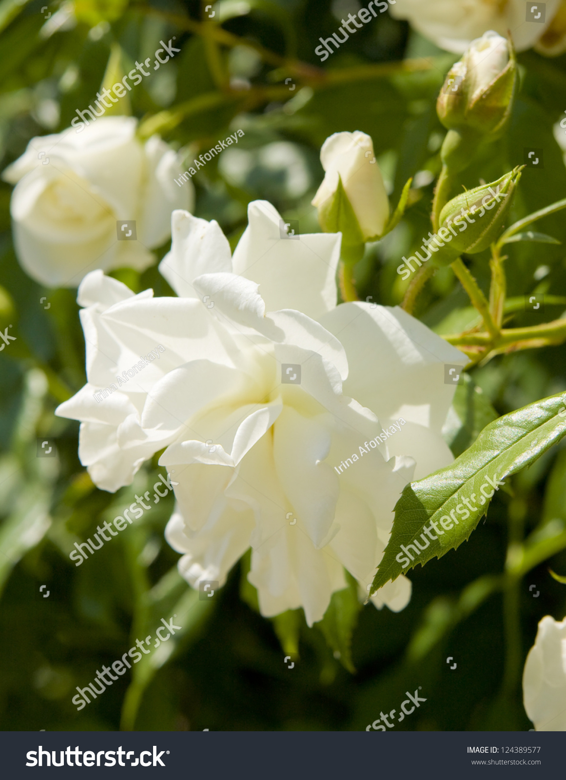 One Big Flower Rose White Colour On Green Leaves Ez Canvas