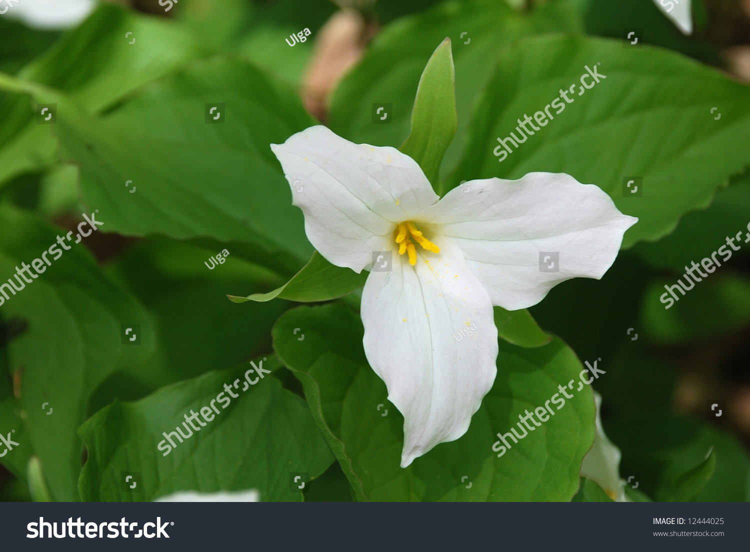 White Petals Of The Large Flowered White Trillium Trillium