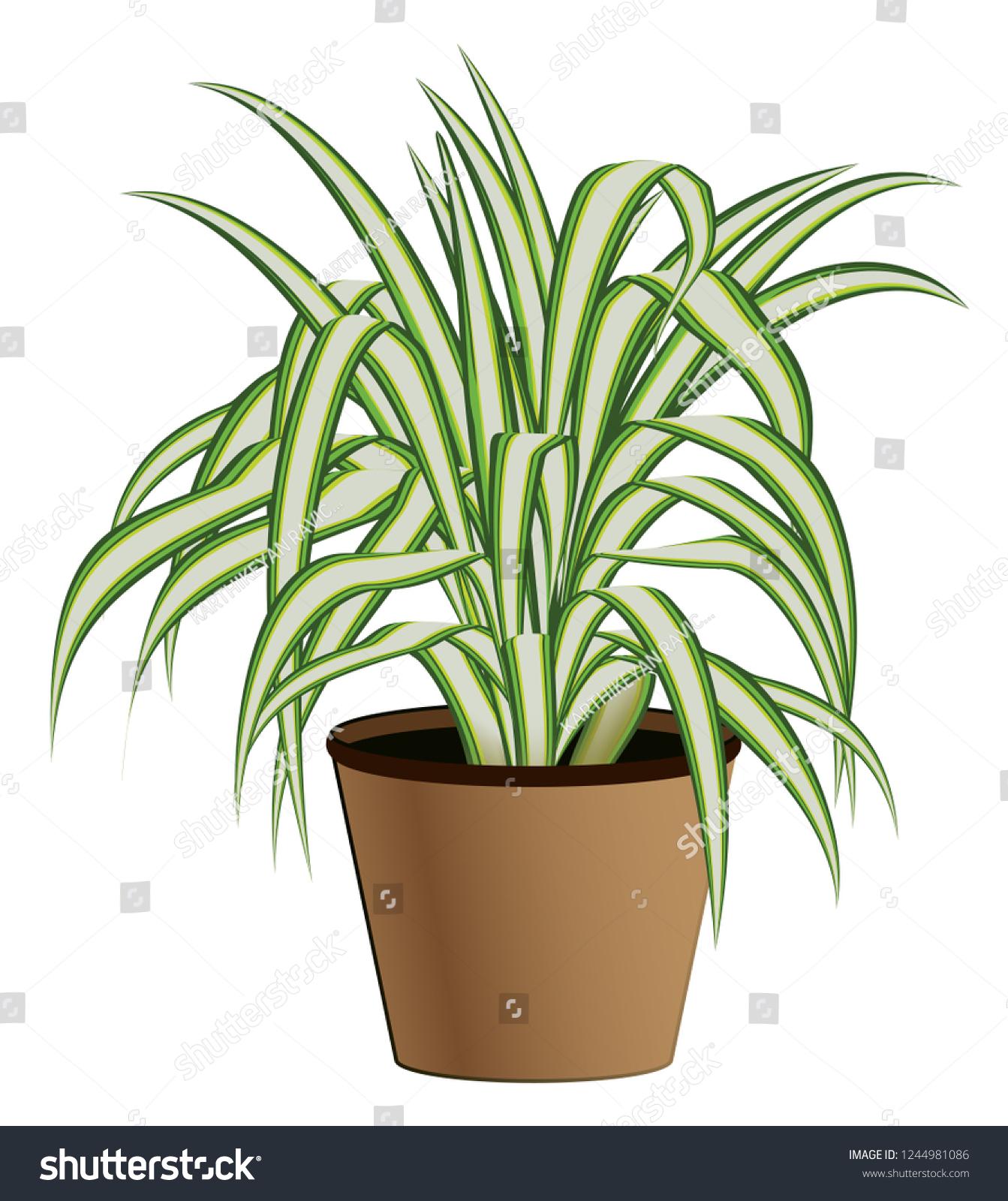 Chlorophytum Spider Plant Vector Illustration Stock Vector Royalty Free 1244981086