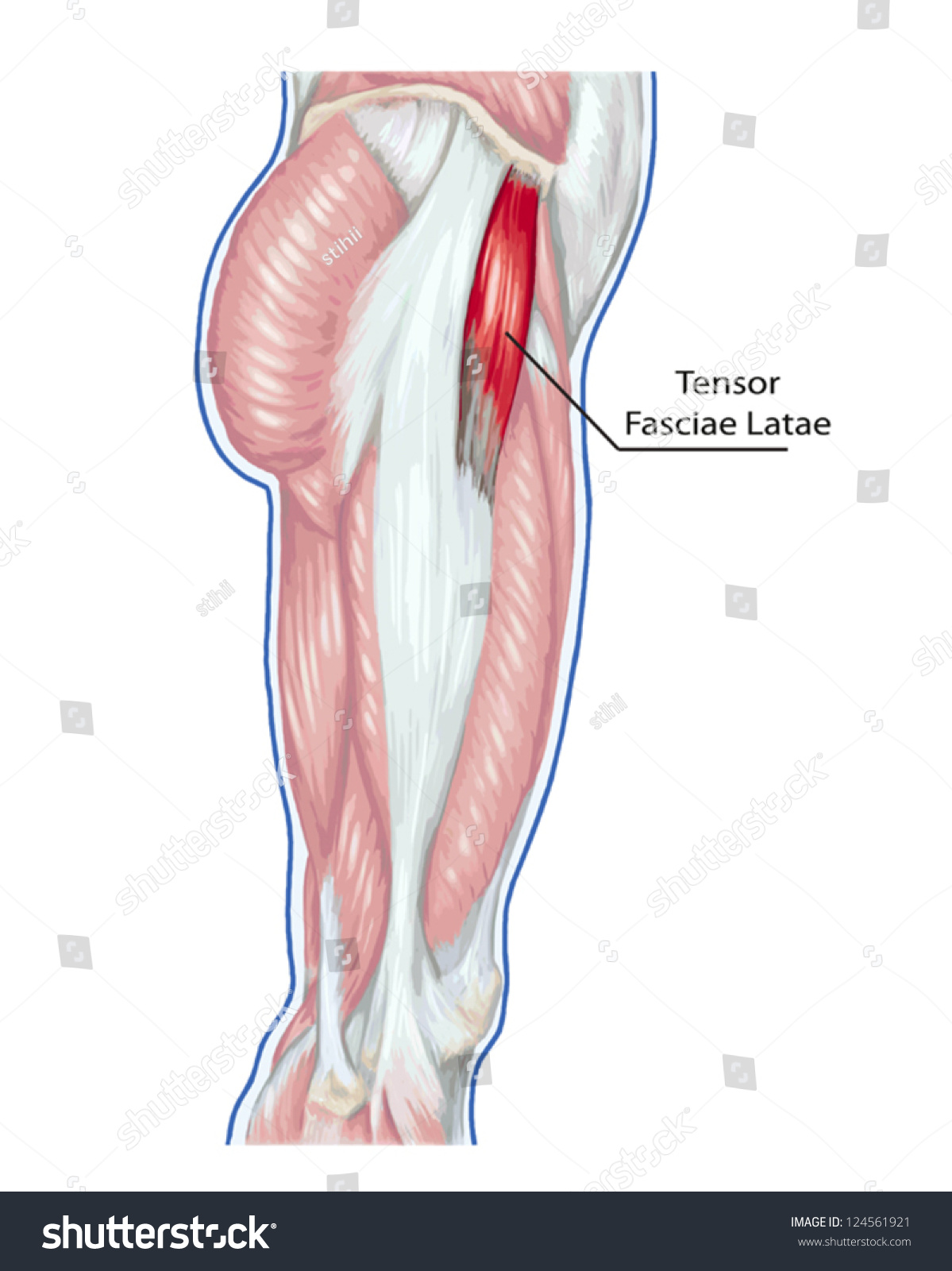 Tensor Fasciae Latae Didactic Board Anatomy Stock Vector Royalty