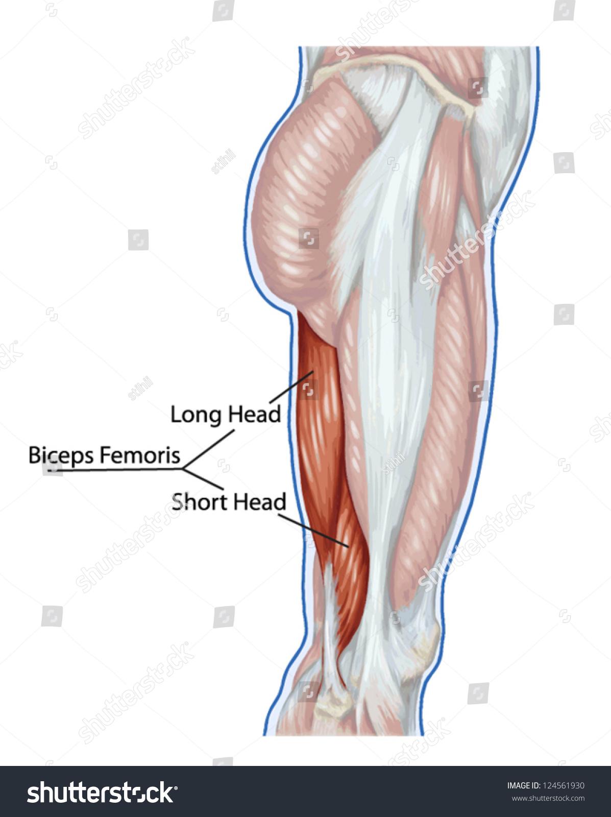 Biceps Femoris Long Short Head Didactic Stock Vector (Royalty Free ...