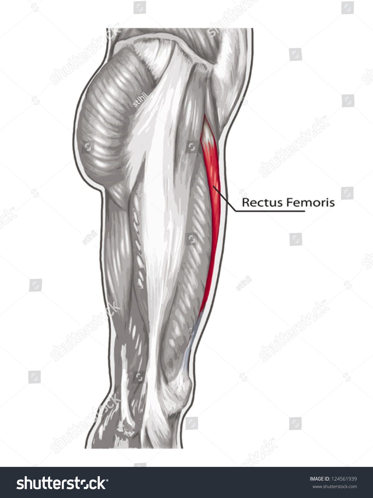Rectus Femoris Didactic Board Anatomy Leg Stock Vector Royalty Free