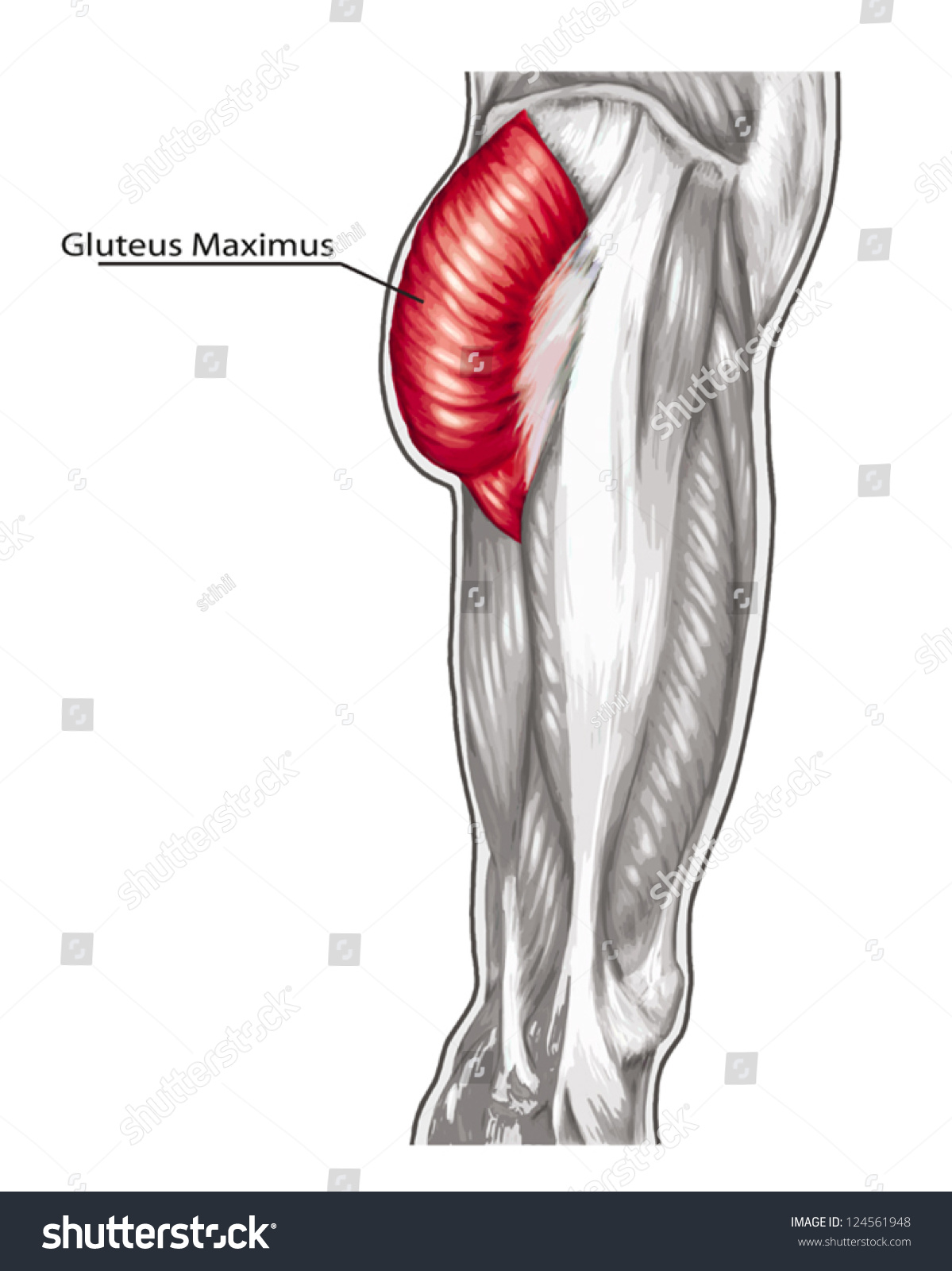 Gluteus Maximus Didactic Board Anatomy Leg Stock Vector Hd Royalty