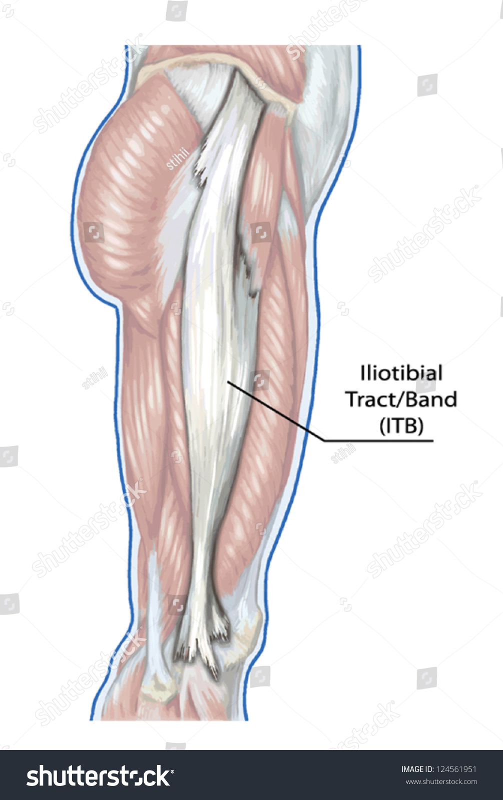 Iliotibial Tract Didactic Board Anatomy Leg Stock Vector Royalty