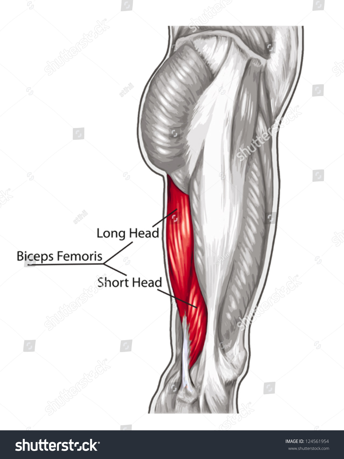 Biceps Femoris Long Short Head Didactic Stock Vector (Royalty Free ...