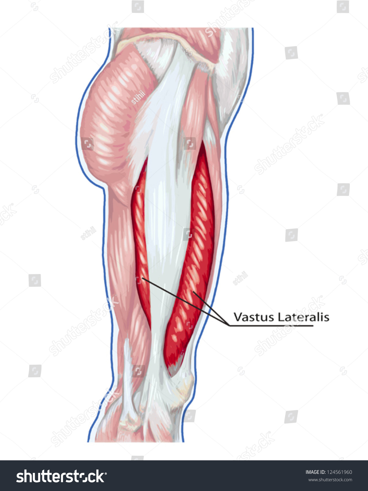 Vastus Lateralis Didactic Board Anatomy Leg Stock Vector Royalty