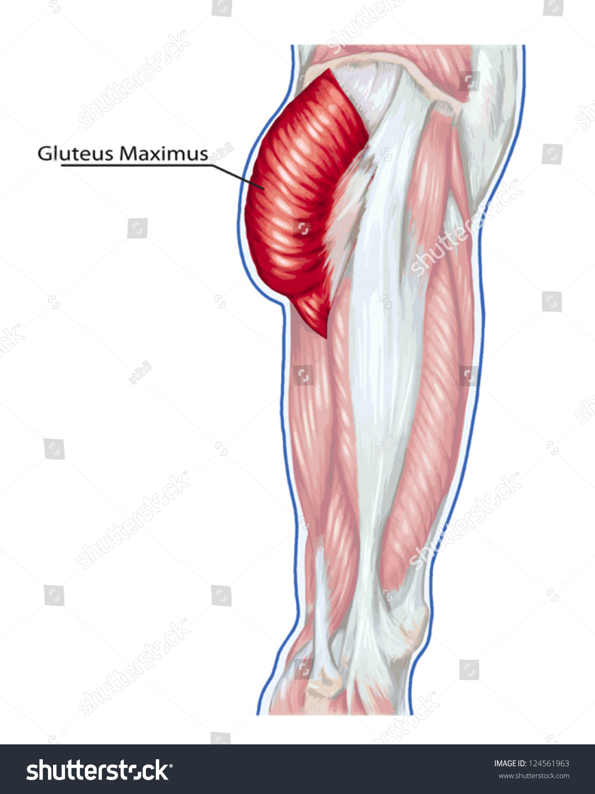 gluteus maximus didactic board anatomy leg stock vector 124561963, Muscles