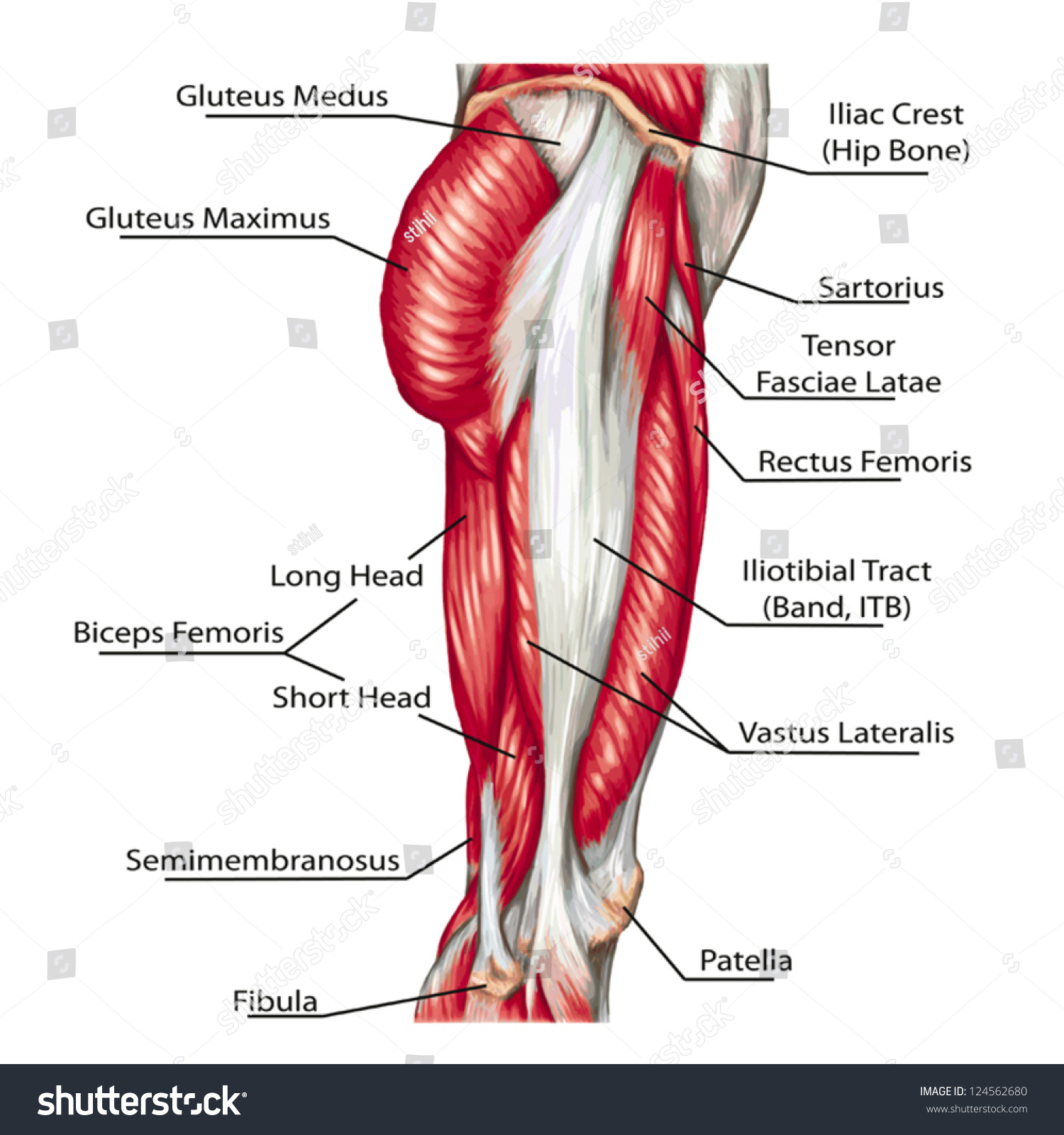 didactic board anatomy leg human muscular stock vector 124562680, Muscles