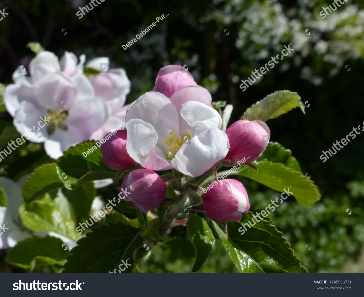 Cox's Orange Pippin Malus Domestica flowering blossom flowers pink open in sunlight green background spring concept