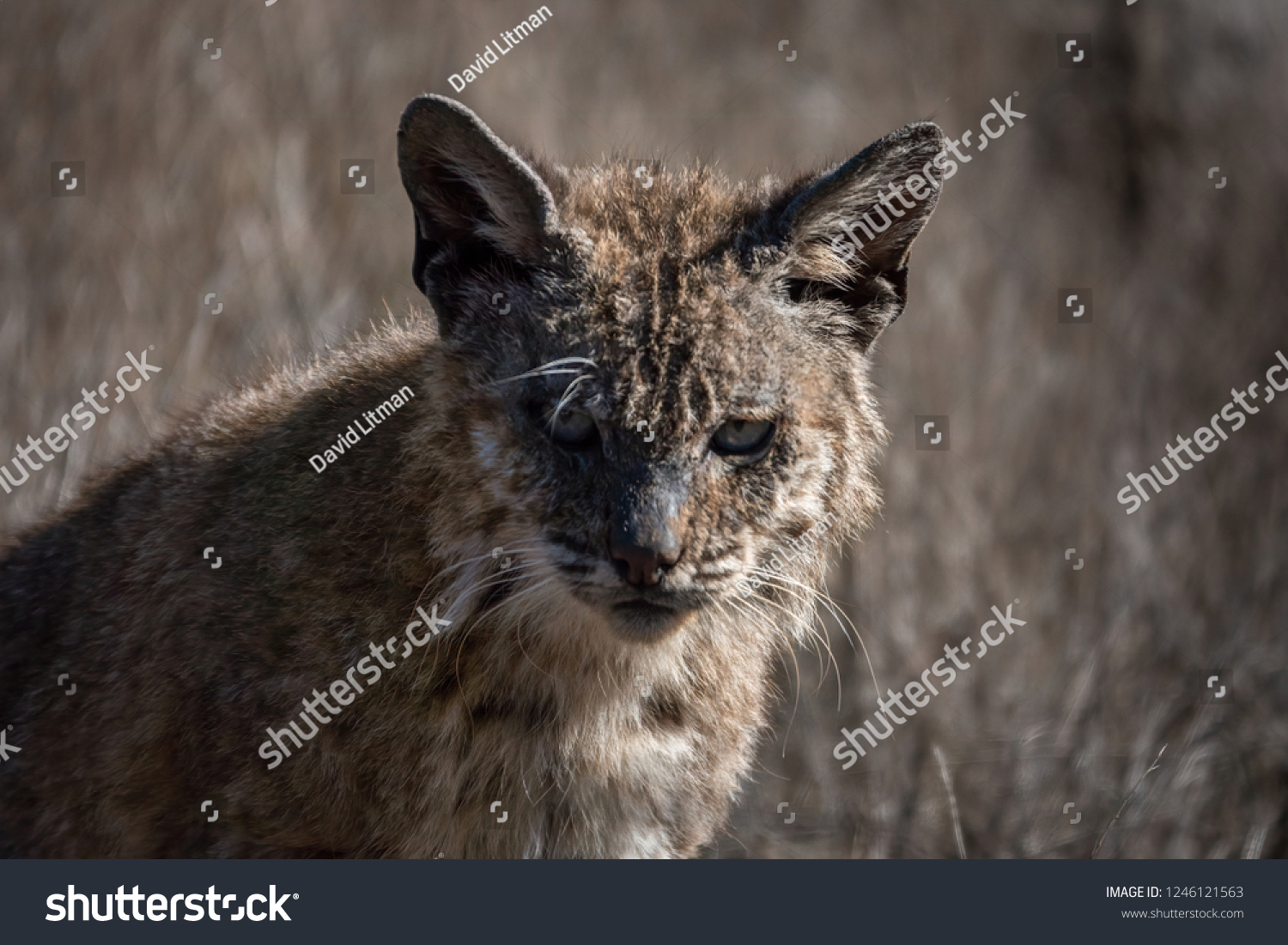 Mange (feline scabies), in wild Bobcats infected with the mite Notoedres cati, is epidemic in some California counties. Exposure to rat and gopher poison may predispose the cats to this fatal illness.