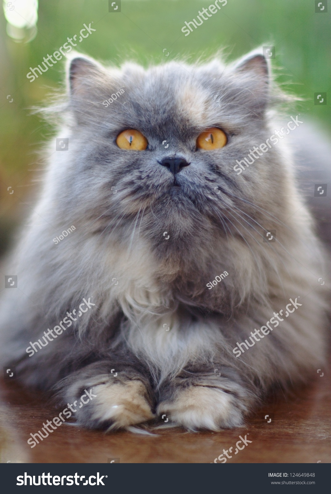 Grey Persian Cat Stock Shutterstock