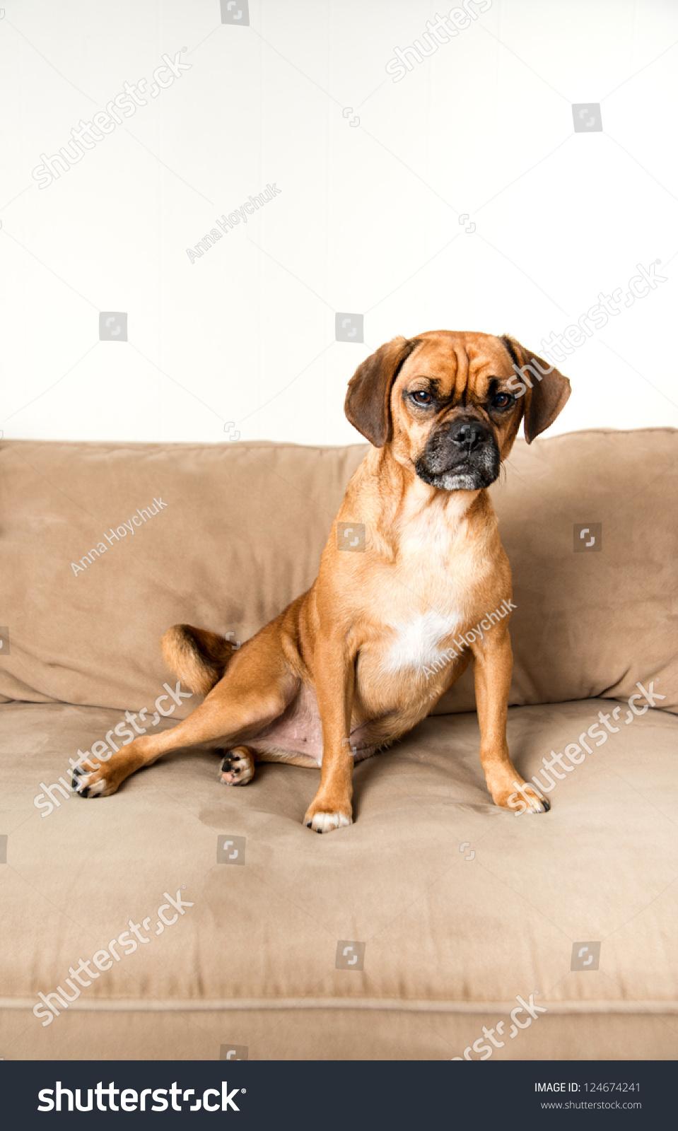 Cute Dark Fawn Puggle Dog Relaxing On Sofa Of Similar