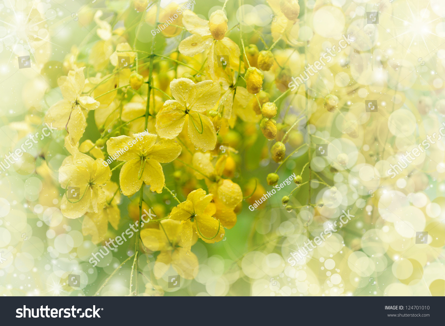 Flowering Tree Blooming Yellow Flowers Dewdrops Stock Photo Royalty