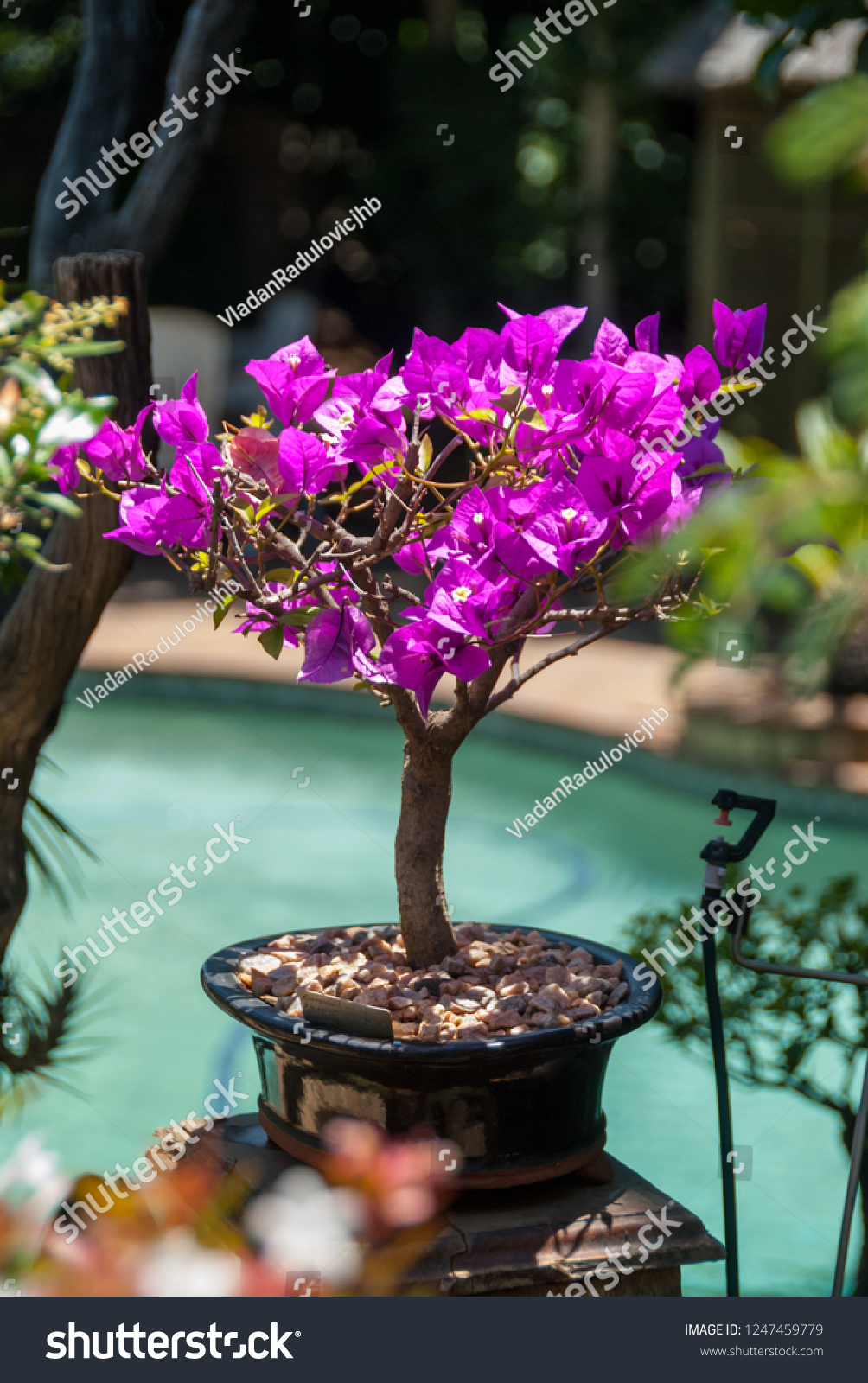 Bougainvillea Bonsai Tree Midday Sun Stock Photo Edit Now 1247459779