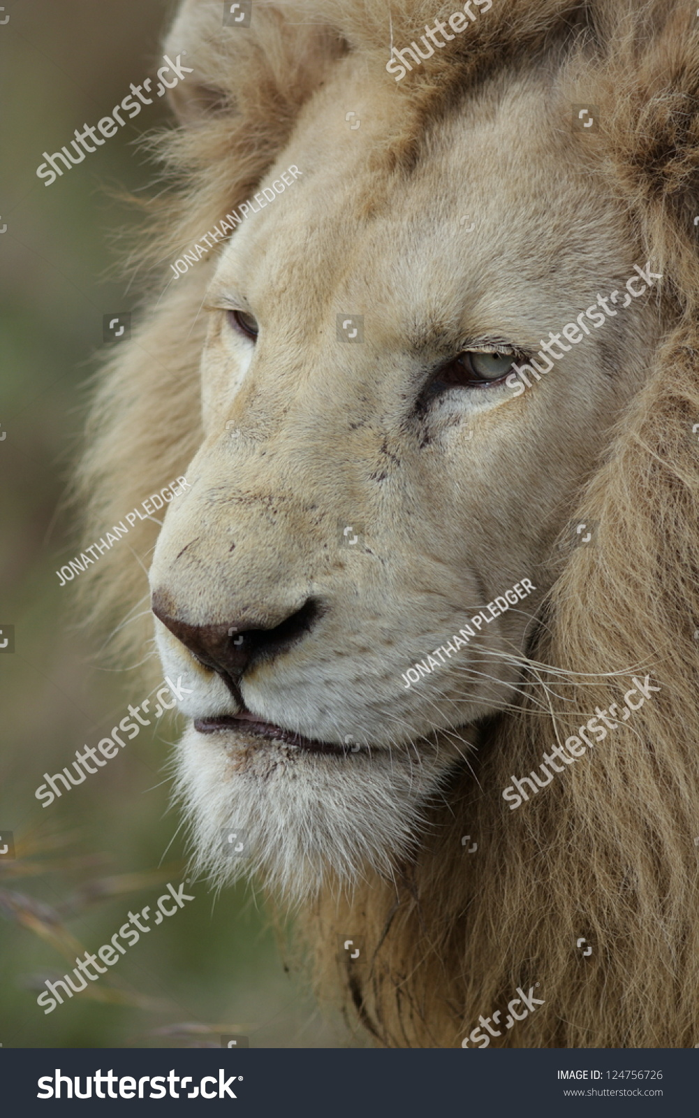 White lion face images - photo#26
